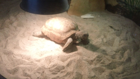 Gus the tortise